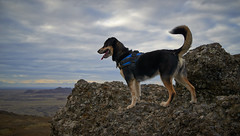 4mai_Thorbjorn_073 (Stefn H. Kristinsson) Tags: dog mountain dogs iceland spring hiking may ma vor hundur sland ganga fjallganga tamron2875mm grindavk hundar grindavik orbjrn nikond800 thornbjorn orbjarnarfell