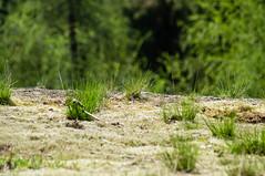 Natur auf der Schieferhalde (tastentipper72) Tags: gras flechte moos schiefer halde liebesbruch