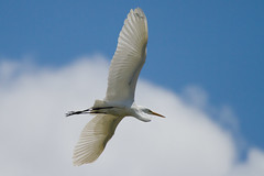 great egret 5-15-2016-87 (Scott Alan McClurg) Tags: life blue wild sky cloud sun white bird nature animal fly flying back spring pond backyard flickr glow wildlife flight neighborhood landing ardea wetlands land algae gliding greategret naturephotography glide ardeidae whitecloud sbluesky aalba