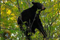 LRa05-25-16a-4840 (Glotzsee) Tags: bear park trees tree nature outdoors virginia wildlife climbing blackbear shenandoahnationalpark nationalgeographicwildlife glotzsee