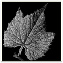 Macro Monday Challenge: Just Leaves (Virginia Rivers) Tags: blackandwhite plant monochrome blackbackground canon leaf idaho foliage grapeleaf dicotyledon photoborder justleaves macromonday dicotleaf canoneos60d canoneos180macrolens