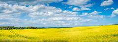 Rapsfeld (thomas.dalecki) Tags: landscape usedom rapsfeld zirchow