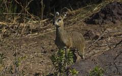 Rock Hopper (philnewton928) Tags: africa wild nature animal southafrica mammal outdoors nikon natural outdoor wildlife safari antelope animalplanet krugernationalpark kruger klipspringer letaba oreotragusoreotragus klipspringerantelope d7200 nikond7200