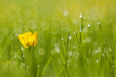 clover in dew (eric cadreur) Tags: morning water yellow backlight germany drops bokeh fresh 100mm goerlitz dew clover f28 meyer optik sunris hegau trioplan beyondbokeh