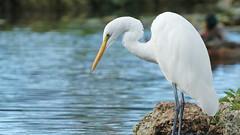 IMG_8906 (Stonez06) Tags: white heron napier andersonpark kotuku
