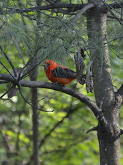 Scarlet Tanager- Male (samurai66) Tags: county scarlet illinois spring kane tanager songbirds