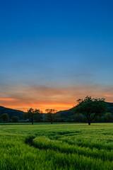 Sonnenuntergang in Rheinfelden (Christian Wolff) Tags: sunset sky tree nature field de deutschland sonnenuntergang natur feld himmel bluesky baum blauerhimmel badenwrttemberg weizen weizenfeld naturfotografie rheinfelden naturalphotography rheinfeldenbaden