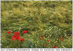 las afueras de Valdemoro a finales de mayo del 16 (M. Martin Vicente) Tags: cereales amapolas afuerasdevaldemoro mayo2016