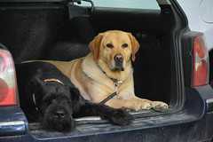 blonde & brunette (VreSko) Tags: dog perro blond brünette kofferraum trunk waiting