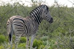 Burchell's Zebra Posing Nicely (zenseas : )) Tags: africa wild vacation holiday fun driving safari zebra namibia etosha dolomite selfdrive plainszebra burchellszebra etoshanationalpark equusquagga selfdrivesafari