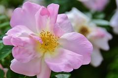 Flower - Chicago Botanic Garden (stevelamb007) Tags: chicago flower nature garden illinois nikon bloom blooming chicagobotanicgarden nikkor18200mm stevelamb flickriver d7200