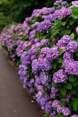 -936 (Mio:D) Tags: flower hydrangea  ise