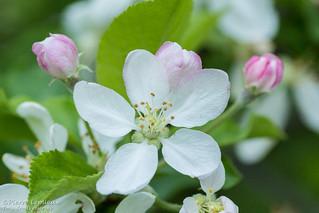 Fleur blanche / White flower