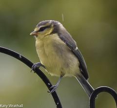 Rain baby (Katy Wrathall) Tags: 2016 bluetit eastriding eastyorkshire england june summer baby birds feeders garden 30dayswild