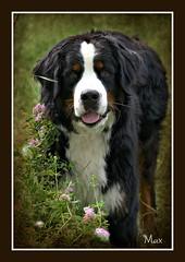 Adorable (patrick.verstappen) Tags: max dog pet animal garden gingelom google belgium flickr facebook photo picassa pinterest pat picmonkey portrait nikon d7100 june summer sigma sweet textured texture