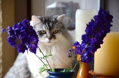 MAX (_franka_) Tags: franka max katze kater cat
