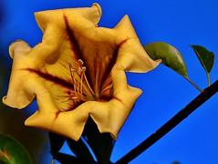 Solandra Maxima (Michael T. Morales) Tags: flower yellow blossom vine solandramaxima chalicevine goldenchalicevine