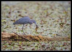 Tadpole Snack... (DTT67) Tags: bird heron nature canon wildlife hunting maryland tadpole nationalgeographic littleblueheron northpointstatepark 14xiii 500mmii 1dxmkii