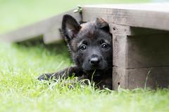 Daemon (Maria Zielonka) Tags: daemon dog dogs herder herdershonds hollandseherdershond hollndische hollndischer hund hunde mariazielonkafotografie outdoor photography puppies puppy schferhund schferhunde shooting welpe welpen