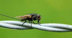 fly on a wire............ (Suzie Noble) Tags: water field insect fly bog invertebrate strathglass struy horseshoebog