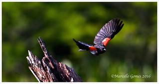 Red-winged Blackbird (Agelaius phoeniceus) RWBL - Au Revoir!