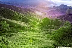 Misty Morning (Infrared) (2121studio) Tags: nature nikon ali malaysia indah cameronhighlands kuantan alam malaysianphotographer drali bohtea sgpalasteaplantation 2121studio kuantanphotographer pahangphotographer ciptaanallahswt 0139342121 nubleebinshamsubahar