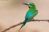 Blue-cheeked Bee-eater -    أكل النحل أزرق الخد - صقرقع خضيري (arfromqatar) Tags: birds قطر birdsofqatar عبدالرحمنالخليفي arfromqatar طيورقطر abdulrahmanalkhulaifi البيئهالقطريه