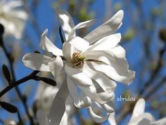 White Magnolia ~ Happy Easter (abrideu away on Holiday) Tags: canon ngc bluesky maro whitemagnolia abrideu fleursetpaysages