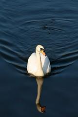 Glasgow Swan (janereid) Tags: reflection water river scotland riverclyde swan glasgow ripple calm glasgowgreen
