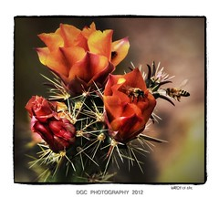 The desert is blooming... (DGC Photography.ca) Tags: flowers arizona cactus usa butterfly desert bees doug az blooms anthem callow