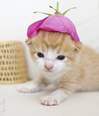 20110708_15276b (Fantasyfan.) Tags: pet baby white flower cute face hat animal topv111 furry topv555 topv333 kitten small fluffy fantasyfanin pelko highqualityanimals siirretty