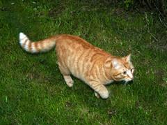 Charlie's buddy (Stuart Axe) Tags: pet cats pets cat ginger kitten kittens buddy gingercat