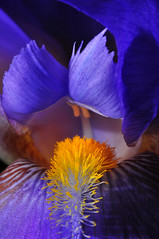 Iris Interior (Bill Gracey) Tags: lighting blue iris light orange flower macro green nature fleur yellow blackbackground garden colorful flor sb600 violet highcontrast sharp depthoffield softbox macrolens macrophotography shdows darkbackground purprle offcameraflash kenkoextensiontube nikoncreativelightingsystem strobist nikoncls tabletopphotography colorphotoaward sb700 honlsnoot