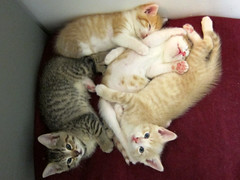 kittenpile (Jimmy Legs) Tags: kittens malibu eureka skyler skootch fiddlesticks