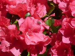 Retina-Searing Azalea with Tiny Visitor: Thursday Flower (di_the_huntress) Tags: pink red bug spring azalea