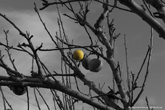 Doesn't fall far from the tree (Constantinos Achilleos) Tags: blackandwhite color tree apple yellow photography nikon rotten constantinos selective cypriot nicosia achilleos conicon nikond3s constantinosachilleos achilleosphotography wwwachilleosphotographycom