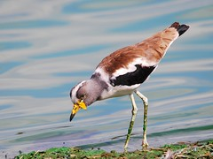 White-crowned lapwing (anacm.silva) Tags: africa wild bird nature birds southafrica nikon wildlife natureza aves ave lapwing krugernationalpark krugerpark kruger frica vidaselvagem fricadosul abibe anasilva nikond40x vanellusalbiceps whitecrownedlapwing