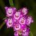 Elleanthus amethystinus - Merle Robboy