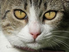 Kiwa (Marina-Inamar) Tags: gatos felinos