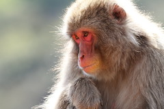Saru monkey (Teruhide Tomori) Tags: animal japan monkey kyoto arashiyama 嵐山 saru サル 猿 iwatayama ニホンザル nihonzaru snowymonkey