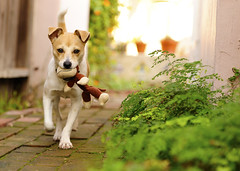 Walter & The Monkey (paulswetland.com) Tags: california walter dog pet puppy monkey losangeles cutedog toymonkey yellowdog whitedog dogwithtoy tanandwhite tanandwhitedog