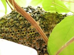 Bee hive outside my window (Mink) Tags: wild window dwarf balcony bees bee kuwait arabian creeper mygarden hive kuwaiti rangoon apis honeybees indica florea quiscalis