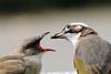 IMG_2228A (HL's Photo) Tags: bird nature birds animal wings breeding 鳥 bulbul chinesebulbul 白頭翁 naturallife 育雛