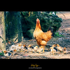 The Bodyguard (Nguyn Hong (Mattoet)) Tags: light chickens nikon viet hen artphoto d90 vitnam qu hoangnguyen phongcnh qungbnh thinnhin nguyenhoang nhtl 0 nguynhong gcon nguyenhoangarc hoangnguyenarc