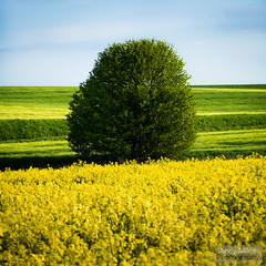 Standing alone (Andy Miles Photography) Tags: barley brassicanapus crop england europe flora oilseedrape oldnewtonwithdagworth suffolk tree uk yellow