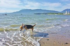 Not Really a Water Dog... (Kaiser the Beagle) Tags: dog beach beagle kits dailydogchallenge