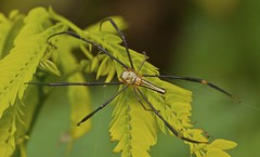 IMG_1642 giant wood spider (Troup1) Tags: macro nature thailand spider arachnid greatshot giantwoodspider elitephotography themacrogroup macrolife totallythailand