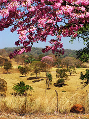 Two of a Kind (osvaldoeaf) Tags: pink flowers brazil tree nature yellow brasil fence landscape spring blossoms cerrado goinia gois wonderfulworldofflowers