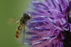 p'tite bte 9 (Ben Piaget) Tags: macro nature canon ben bokeh lumire papillon flou insecte mouche coccinelle fleures papillons araign piaget proxi couleures