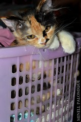 Cat likes the hamper (Minell Pajamas) Tags: cats cute nature animals cat nikon kitten purr meow d3100 minell